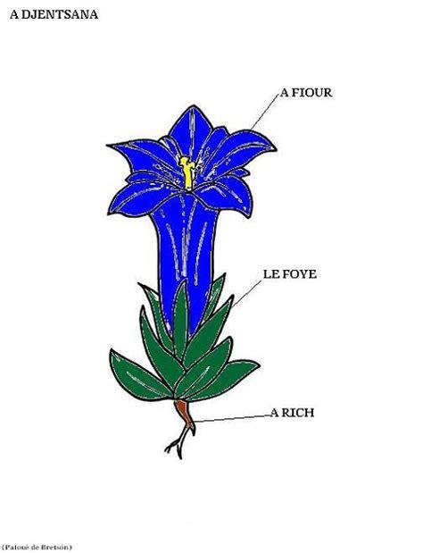 genziana fiore fiori