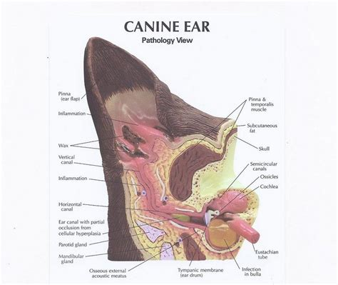 how to clean a dogs ears how to clean dogs ears step by step for healthy ears