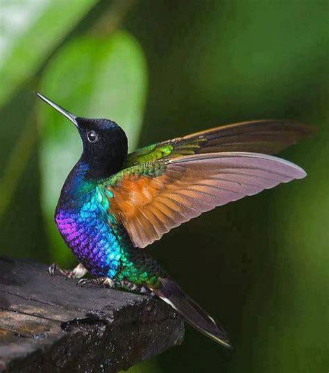 iridescent hummingbird cute animals pinterest