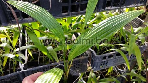 Oleander Kaufen 522 livistona chinensis fan palm small plant