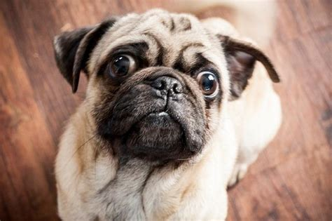 www pugs org buffalo pug small breed rescue inc baxter s page