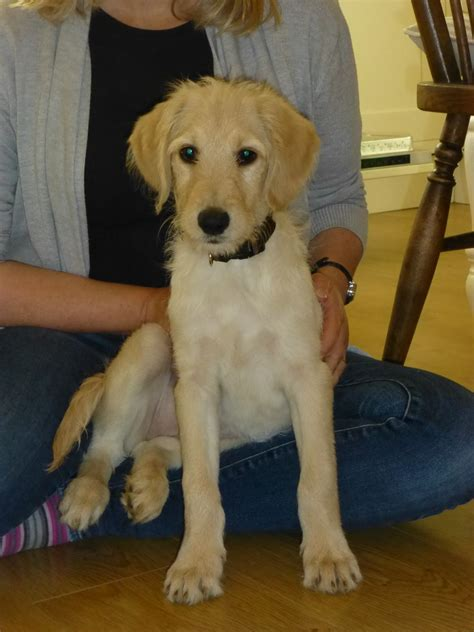 12 week puppy adorable 12 week labradoodle puppy hythe kent pets4homes