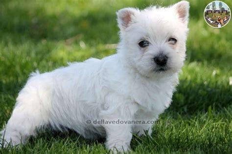 west highland white terrier alimentazione west highland white terrier vendita hairstylegalleries