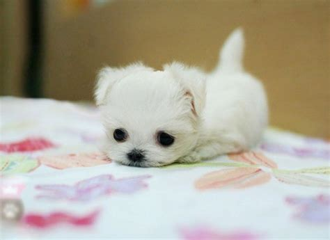 baby maltese puppies baby puppy pictures get ready to say quot awww quot gracie lu shih tzu