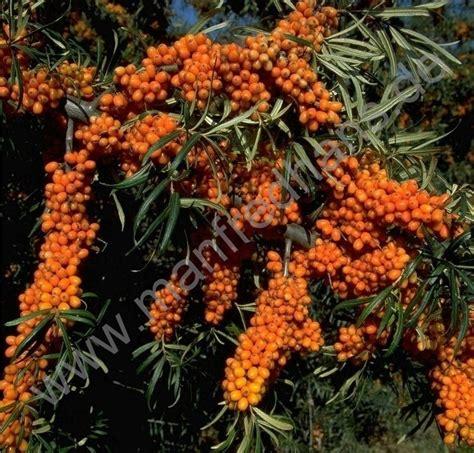 sanddorn friesdorfer orange 1481 sanddorn friesdorfer orange deaflora sanddorn friesdorfer