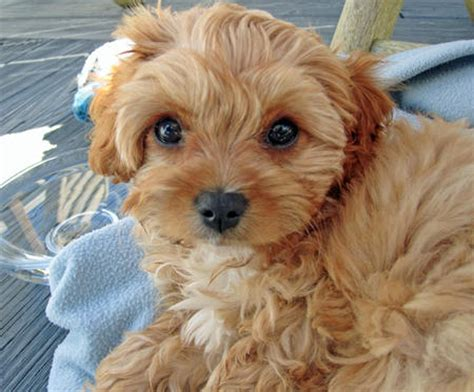 yorkie chihuahua poodle mix pomeranian poodle chihuahua mix breeds picture