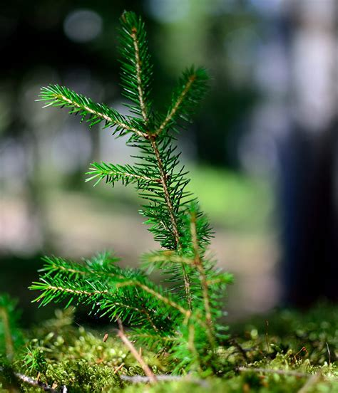 how to plant christmas tree farm when to plant tree seedlings designing an aesthetic interior