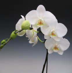 orchid plants white phalaenopsis orchidaceous orchid blog