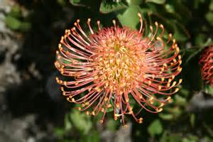 Pin Cushion Protea Leucospermum Wow
