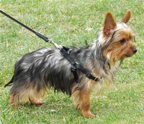 terrier yorkie hypoallergenic terrier yorkie hypoallergenic breed k9rl