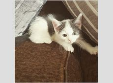 Grey kittens for sale | Hereford, Herefordshire | Pets4Homes Kittens For Sale