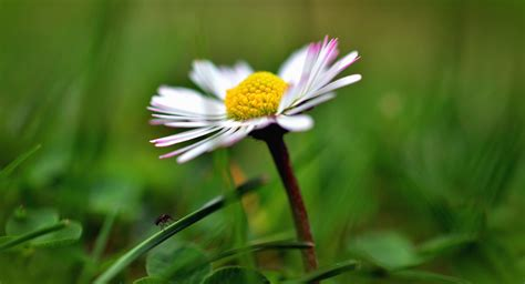 imagenes de flores extrañas plantas margaritas elegant fotos de flores margaritas
