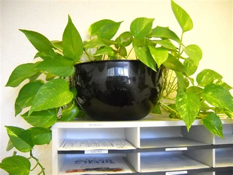 in door plant put in pot vide pothos plant care bob s market and greenhouses