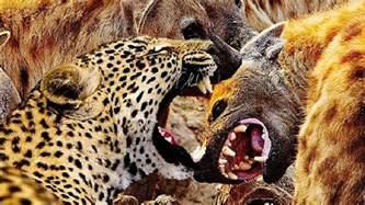Jaguar Vs Hyena Guepardo Vs Hiena Briga Mortal