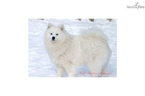 samoyed puppies for sale michigan samoyed for sale for 1 650 near lansing michigan efeb3fef a9e1