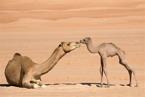 Camel San Diego Zoo Animals Plants