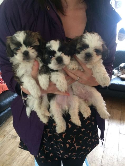 shih tzu puppies for sale in birmingham shih tzu puppies for sale only 4 left birmingham west midlands pets4homes