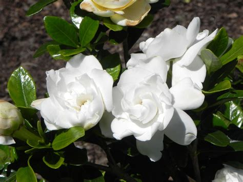 Gardenia Quality Gardenia Hd Wallpapers