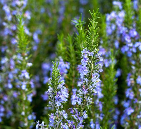 Rosmarin Garten Pflanzen by Rosmarin Pflanzen 187 Ein Kleiner Ratgeber