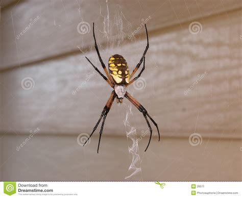 Garden Spider Family Name Yellow Garden Spider In Web Stock Image Image 26071