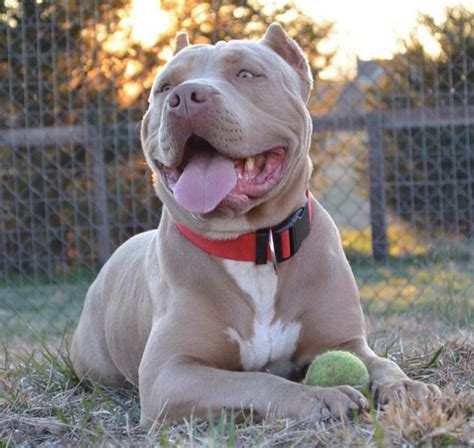 pit picture 1000 ideas about bully pitbull on rednose