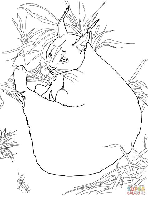 coloring pages wild cats caracal coloring page coloring home