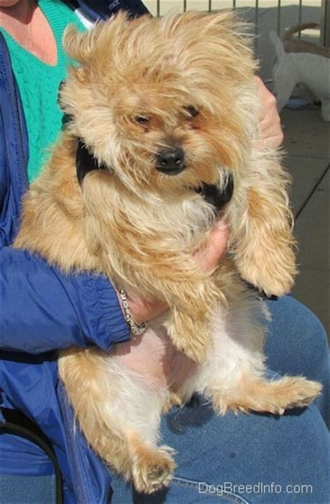 yorkie chow puppies yorkie chow mix breeds picture
