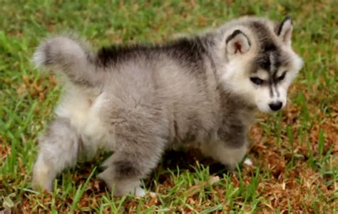 fluffy husky puppies of the day siberian husky puppies the world of nardio