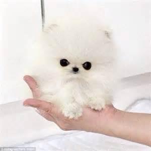 smallest pomeranian buys smallest pomeranian in world named mr amazing for 13k daily