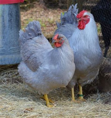 Backyard Chickens Johannesburg 603 Best Images About Brown Egg Laying Chicken Breeds On
