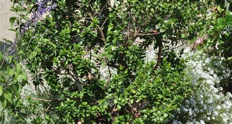 pianta di mirto in vaso mirto myrtus communis myrtus communis aromatiche