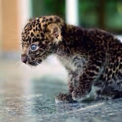imagenes de jaguar bebe m 225 s de 25 ideas incre 237 bles sobre jaguar beb 233 en pinterest