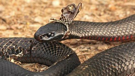 A Snake Shedding Its Skin by Snake Season Safety Six Snake Bite Tips