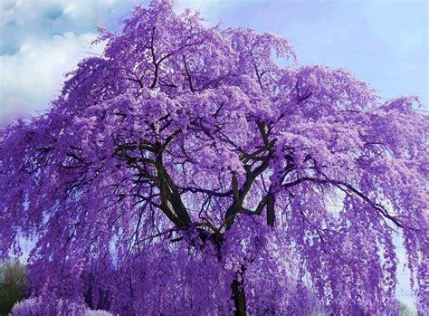 purple wisteria tree flowers via colorfull at www facebook com colorfullss favorite places