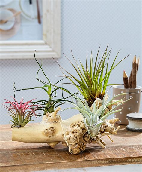 Artificial Trees For Home Decor by Buy House Plants Now Tillandsia Arrangement 4 Bakker Com