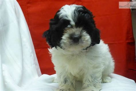 shih poo puppies for sale in va shih poo shihpoo puppy for sale near delaware 69dc5009 2941