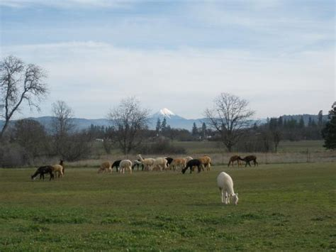 lone ranch alpacas at lone ranch white city or top tips info to before you go with