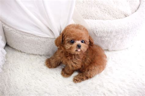 teacup poodle puppies sold micro teacup poodle itsy puppy teacup microteacup puppies for sale