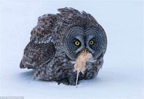 killer owl owl about that breathtaking photographs show moment owl