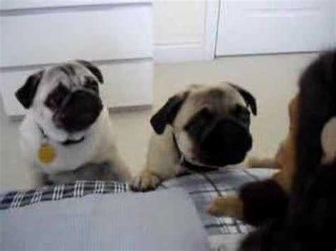 pug stuffed philippines pugs frightened by monkey doovi