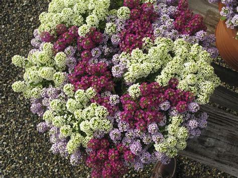 fiore alisso alisso piante annuali le caratteristiche dell alisso