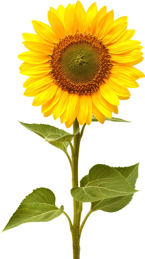 no sun plants sunflower png images free download