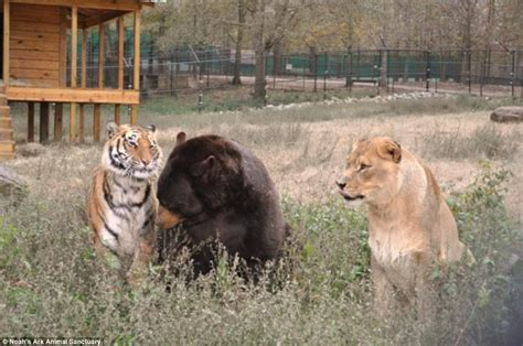 Lions Tigers Bears Oh My by Noah S Ark Animal Shelter S Tiger And Brothers