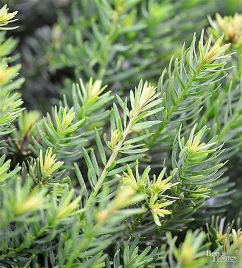 plants that grow in complete darkness 17 best images about taxus on pinterest enabling shrubs