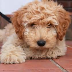 mini labradoodles 1000 images about labra goldendoodles on