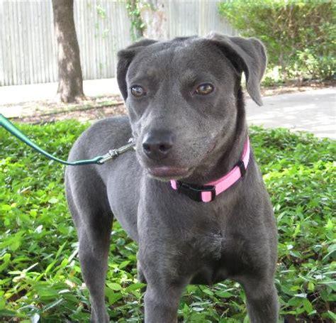 lab terrier mix puppies calypso labrador retriever humane society of dallas county