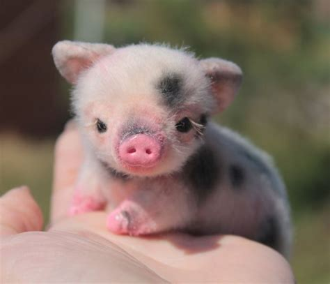 are teacup pugs real 25 best ideas about baby teacup pigs on pigs teacup pig and teacup
