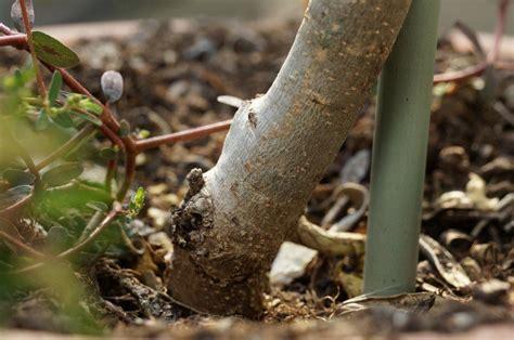 Ameisen Im Blumenkasten Bekämpfen by Olivenbaum Erde Olivenbaum Pflanzen So Gelingt Die