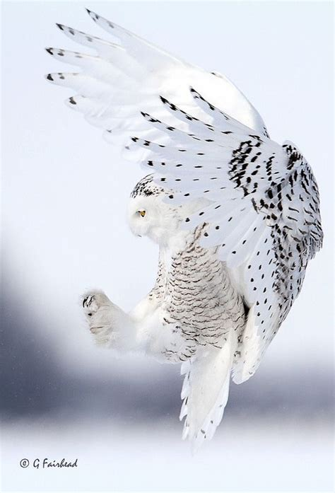 best 25 snowy owl ideas on pinterest owls white owls