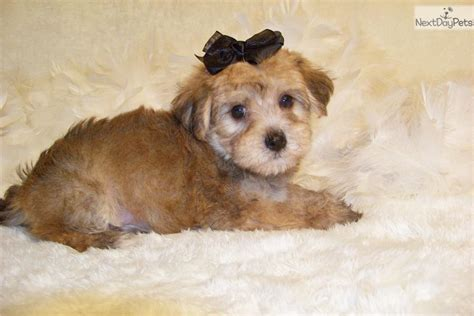 yorkie poo puppies prices yorkiepoo yorkie poo puppy for sale near st louis missouri 6d94164e 5771